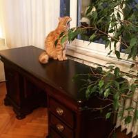 Kervan masif çalışma masası resmi